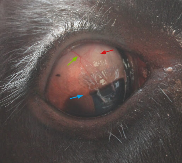 FIGURE (4) When carrying out eye injections, a new 25G 5/8 needle should be used for each treatment and a separate needle should be used to fill the syringe. If the animal objects despite topical local anaesthetic, it is likely that the needle is penetrating the sclera below the conjunctiva (ie too deep). Blue arrow indicates the limbus (boundary between sclera and cornea), red arrow represents site for bulbar subconjunctival injection and green arrow indicates blood vessels on sclera to avoid when injecting