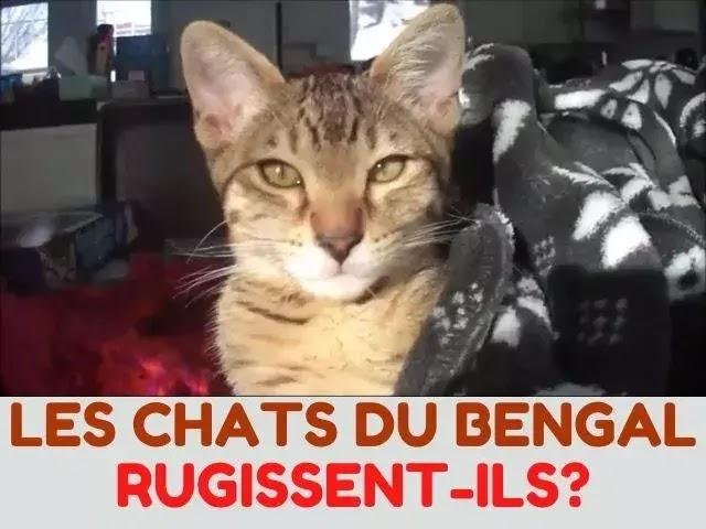 Les Chats Du Bengal Rugissent-Ils?