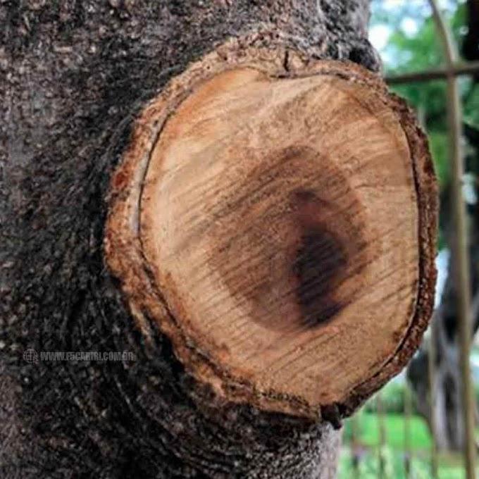 Juazeiro do Norte: Suposta imagem do Padre Cícero aparece em árvore cortada