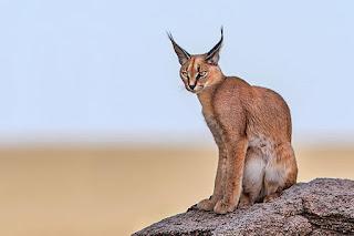 El caracal, un gato salvaje de orejas negras
