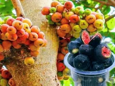 Bedu Fruit: 'బేడూ' ఫ్రూట్ ఒక మంచి న్యాచ్రల్ పెయిన్ కిల్లర్....ఎక్కడ దొరుకుతుందో తెలుసా.....?