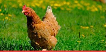 Estudos mostram vantagens na criação de galinhas livres