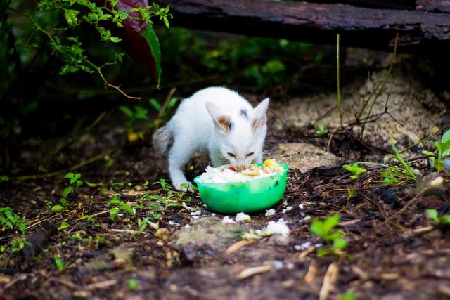 Cara Mengganti Makanan Kucing dari Basah ke Kering