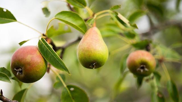 Pear fruit, twigs, macro wallpaper