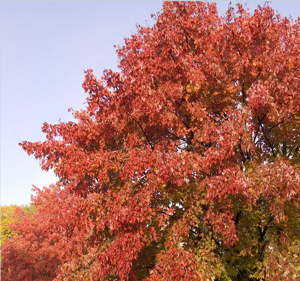 Sienna Glen Maple Tree Pros and Cons, Growth Rate, Problems