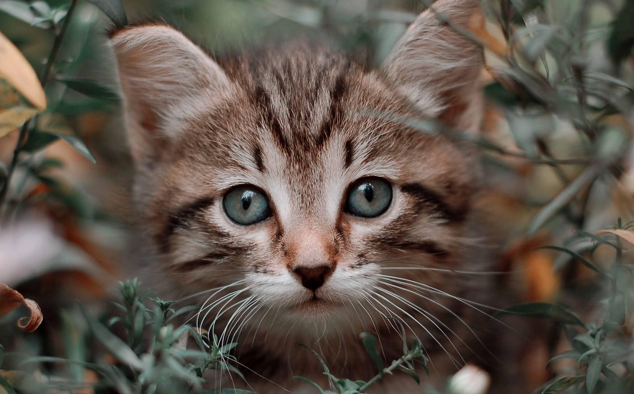 20 wallpaper image kitten, wild cat, cat, grin, grass, walk wallpaper, background Ultra HD 4K 5K 8K for Computer Desktop