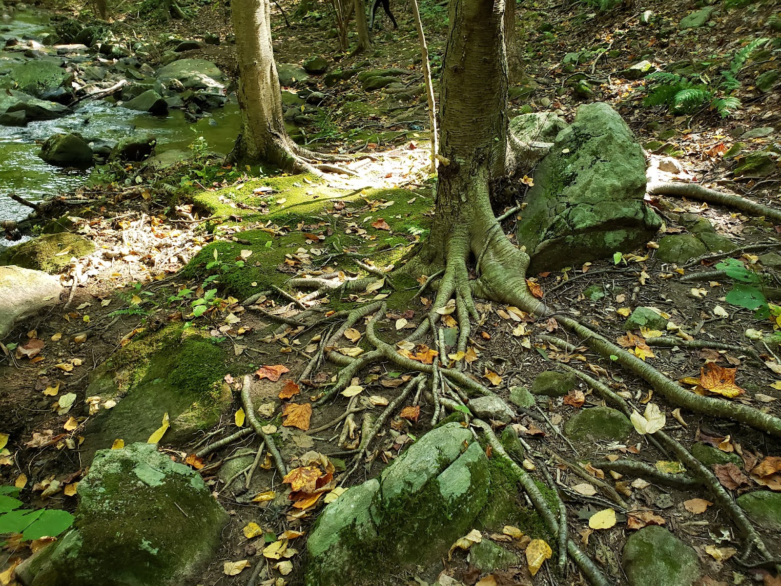 Shallow root system of trees in Roaring Rock Park