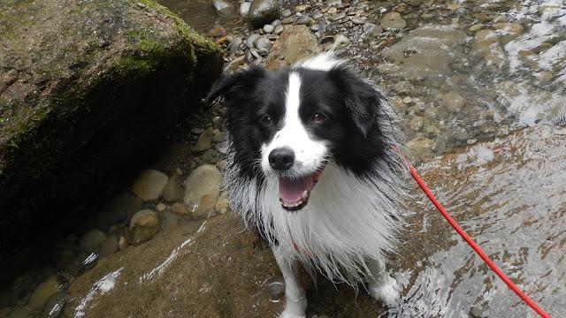 保護犬 ボーダーコリー トーマ 養老渓谷 川遊び