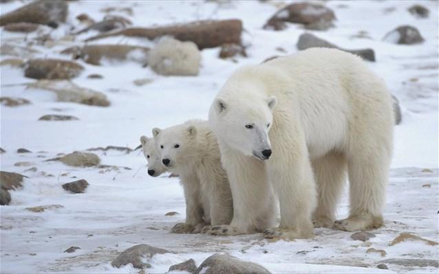 Νέο SOS για τις πολικές αρκούδες