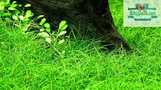 Tanaman aquascape Lilaeopsis