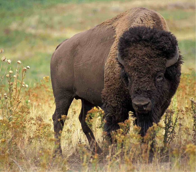 bison - 5 strange animals humans have tried to turn into pets