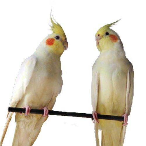 Vẹt mã lai hay còn gọi là vẹt Cockatiel