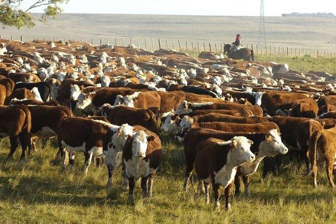 """Se robaron 70 vacas pero la justicia los liberó porque """"robaban por hambre"""""""