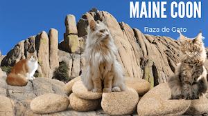 Gatos de raza de Maine Coon