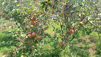 Jual Apel Malang Di Sulawesi Langsung Dari Kebun Kualitas Premium