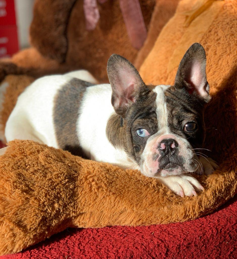 Bulldog Francés Choco Merle