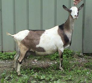 Sable goat breed characteristics