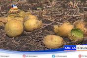 Cuaca Panas, Hektaran Tanaman Melon Di Lamongan Rusak