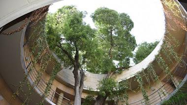 El almez que escala por el patio circular que da acceso al Jardín Botánico de Valencia