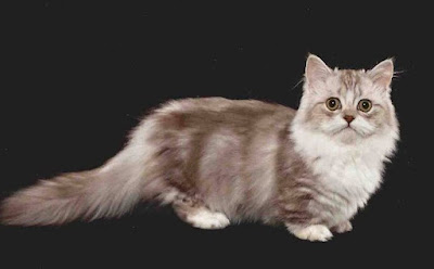 Sejarah Ras Kucing Minuet