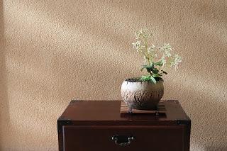 ダイモンジソウの山野草盆栽