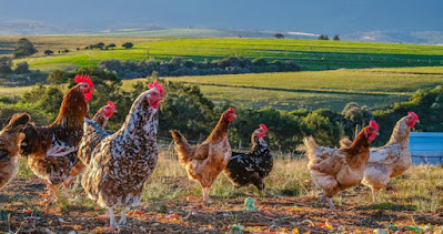 How to keep free range poultry warm in winter