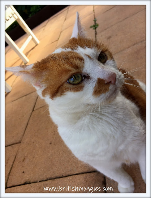 cute ginger and white cat, cat, cat outside
