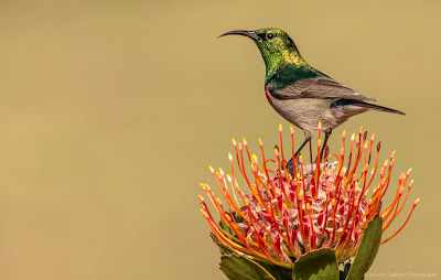 Reflections of My Life Vernon Chalmers Photography Copyright Vernon Chalmers Southern Double-Collared Sunbird Kirstenbosch National Botanical Garden