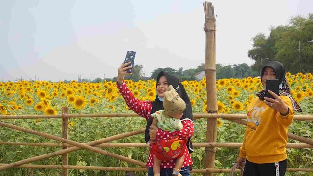 Viral di Sosmed, Segini Harga Tiket Masuk Wisata Kebun Bunga Matahari di Mojokerto