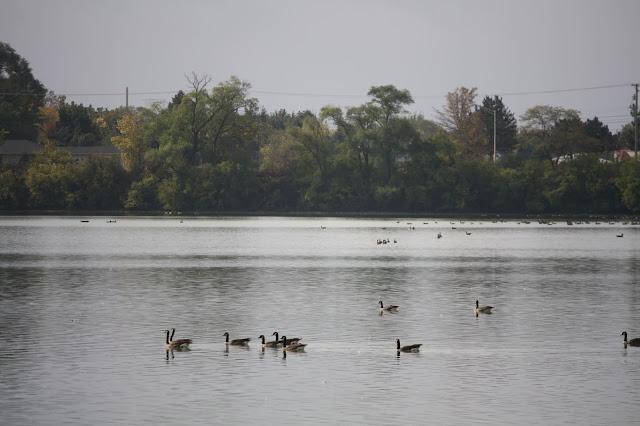 Geese swimming on Lake Renwick.