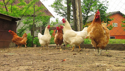 TIPS TO INCREASE CHICKEN EGGS PRODUCTION