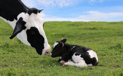 10 Tips to prevent Calf Scour | Diarrhea