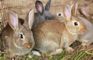 Bogor Rabbit Show I