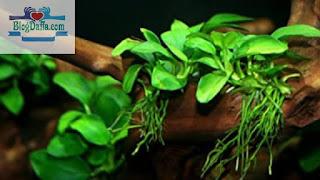 Tanaman aquascape Anubias nana