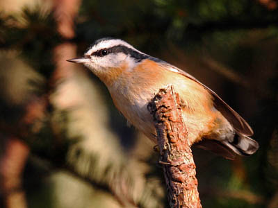 Photo of a Red-breasted Nuthatch on a stick