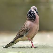 Chim cu gáy trống trông vùng ngực của nó rất to.