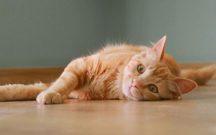 vitamin kucing halal