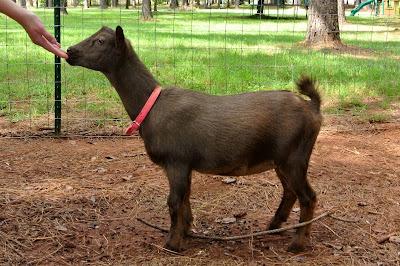 Nigerian dwarf goat breed