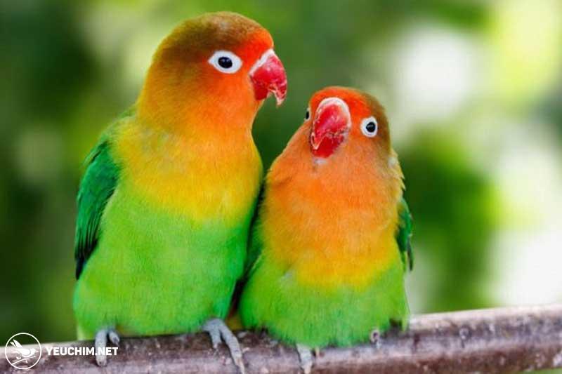 Vẹt uyên ương hay còn gọi là vẹt Lovebird