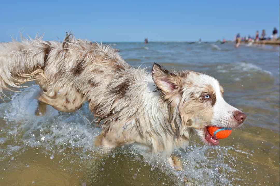 le chien berger australien, police d'assurance, mutuelle chien, assurance chien, assurance pour animaux de compagnie, assurance pour animaux domestiques, assureur, berger américain miniature, animal de compagnie, aliments pour chien, nourriture pour chien, éducateur canin, dresseur de chiens