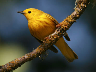 Photo of Yellow Warbler on branch