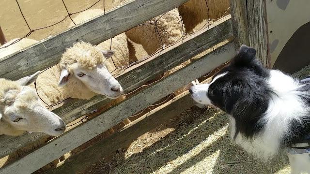 保護犬 ボーダーコリー トーマ 成田ゆめ牧場