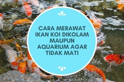 Cara Merawat Ikan Koi