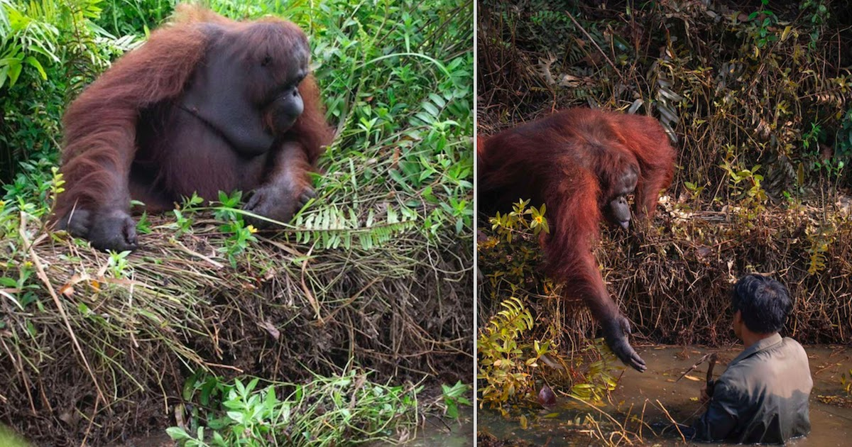 An Orangutan Tries To Rescue A Man Stuck In Mud By Reaching Out A Helping Hand