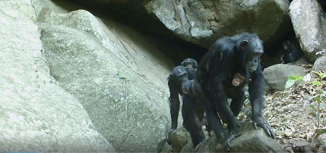 Savannah chimpanzees, a model for the understanding of human evolution