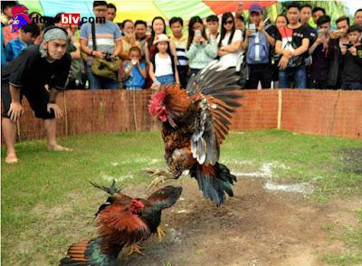 Chọi gà có phải phạm pháp