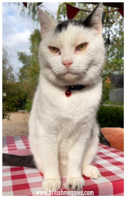Tripawed Cat, 3 legged cat outside, cute cat,