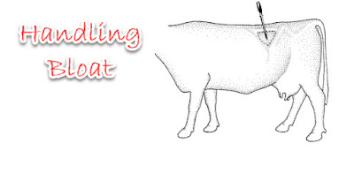 How to treat bloat in dairy cows