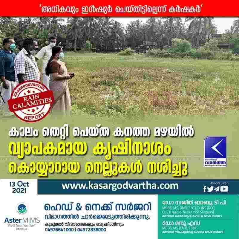 News, Kasaragod, Kanhangad, Kerala, Rain, Agriculture, Farmer, Crop damage in heavy rains.