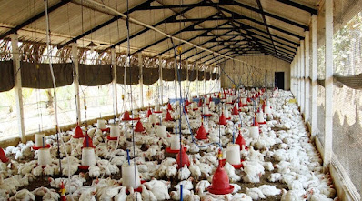 5 Tips to start profitable poultry business